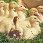 ducklings-1566724_s