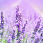 lavender-blossom-1595581_s